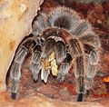 Grammostola cf. porteri adult female eating.jpg