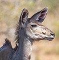 Gran kudú (Tragelaphus strepsiceros), parque nacional de Chobe, Botsuana, 2018-07-28, DD 11.jpg