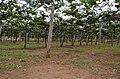 Grapes Field @ Theni - panoramio.jpg