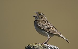 Grasshopper Sparrow (Ammodramus savannarum) (2862896572).jpg