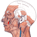 Gray — musculus levator anguli oris.png