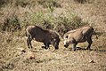 Grazing Warthogs, North West Province, South Africa (6253259028).jpg