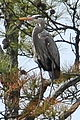Great Blue Heron (3764458576).jpg