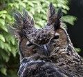 Great Horned Owl (3947353065).jpg