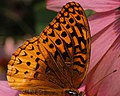 Great Spangled Fritillary Speyeria cybele Wing 2318px.jpg