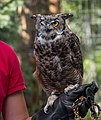 Great horned owl at ACES (11794).jpg