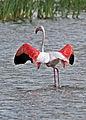 Greater Flamingo, Phoenicopterus roseus at Marievale Nature Reserve, Gauteng, South Afr (22775124703).jpg
