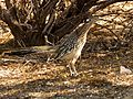 Greater Roadrunner - Flickr - treegrow (1).jpg
