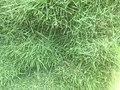 Green Grass 003.jpg