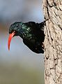 Green Wood Hoopoe, Phoeniculus purpureus, at Mapungubwe National Park, Limpopo, South Africa (30192377155).jpg