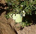 Greenish Black-tip. Euchlo (Elphinstonia) charlonia - Flickr - gailhampshire.jpg
