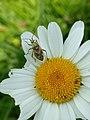 Grenchenberg - Roodgetekende prachtblindwants (Calocoris roseomaculatus) op bloem.jpg