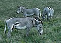Grevy's zebra group.jpg