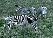 Tres cebras de Grévy pastando