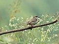 Grey-breasted Prinia (Prinia hodgsonii) (24769515847).jpg