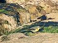 Grey Wagtail, Els Poblets, Alicante, Spain (16326154766).jpg