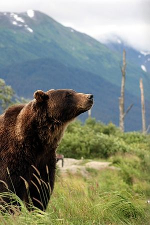 Grizzly Bear Anchorage Alaska