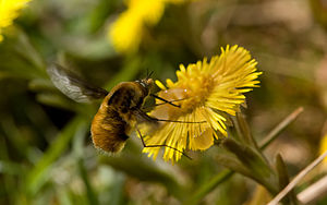 Bee-fly (Bombylius major) is a large genus of ...