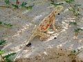 Ground Agama (Agama aculeata) (7000390211).jpg