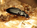 Ground Beetle (29296347766).jpg