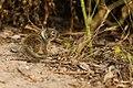 Ground Squirrel (35207416890).jpg
