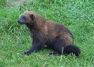 Wolverine Species of the family Mustelidae