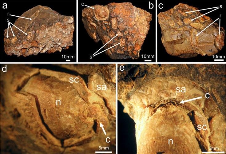 Gut content of Isaberrysaura mollensis