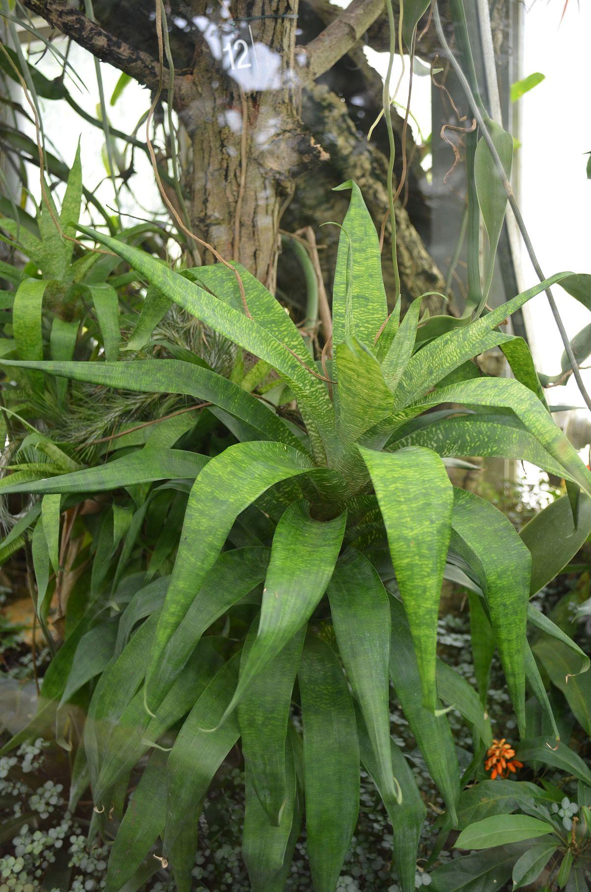 Guzmania subcorymbosa wikidata - Jardin botanique de lyon ...