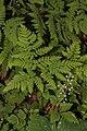 Gymnocarpium dryopteris 0313.JPG