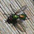 Gymnocheta viridis - Flickr - S. Rae (4).jpg