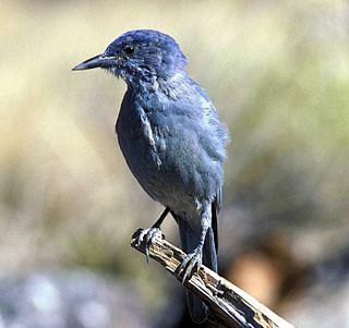 Pinyon jay species of bird of the monotypic genus Gymnorhinus of family Corvidae