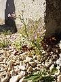 Gypsophila muralis sl20.jpg