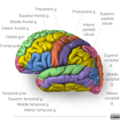 Gyri of lateral cortex.png