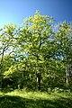 Hörsne prästänge ek skog.jpg