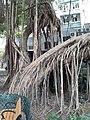 HK SW 上環 Sheung Wan卜公花園 Blake Garden 老榕樹 Chinese banyan tree 氣根 root n trunk February 2020 SS2 06.jpg