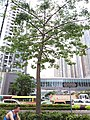 HK TKO 將軍澳 Tseung Kwan O 寶盈花園 Bauhinia Garden 唐俊街 Tong Chun Street tree n footbridge May 2019 SSG.jpg