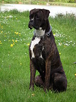 The colour brindle can be with or without white markings