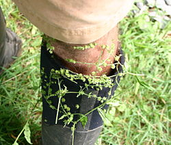 Hackelia seeds on a boot.jpg