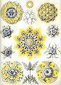 Haeckel Polycyttaria.jpg
