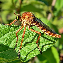 Hanging Thief Robber Fly (Diogmites crudelis) (7736461008).jpg