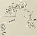 Haplocanthosaurus in situ.jpg