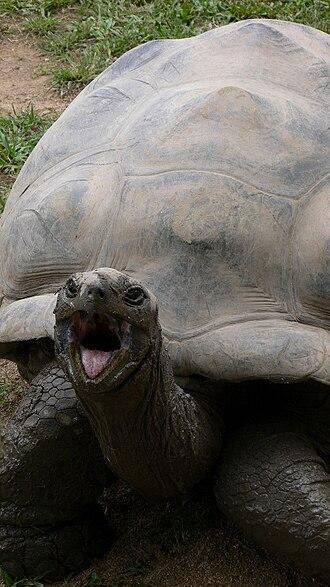 Harriet (tortoise) - Harriet at the Australia Zoo