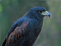 Harris's Hawk RWD at CRC.jpg