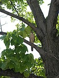 Hawk in a tree (195528674).jpg