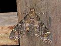 Hawkmoth (Meganoton nyctiphanes) (15703552042).jpg