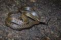 Hebius boulengeri, Boulenger's keelback - Khao Khitchakut National Park (32294919927).jpg