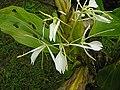 Hedychium cylindricum (14010955403).jpg