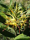 Hedychium gardnerianum 0.jpg