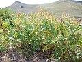 Hedysarum occidentale (29125362281).jpg