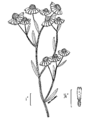 Helenium flexuosum2.png
